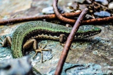 Great Lizard!